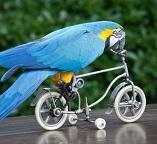 Пазлы. Попугай на велосипеде